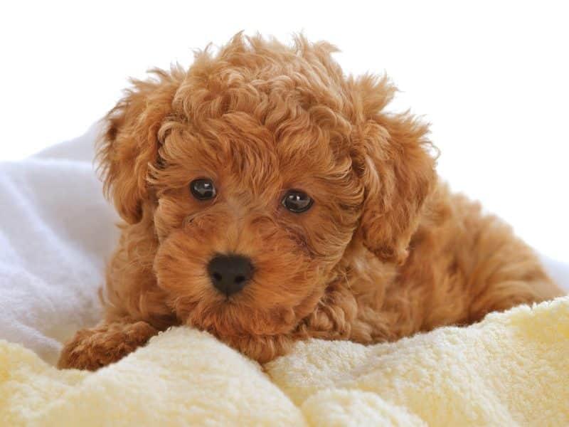 control veterinario de un Caniche Toy