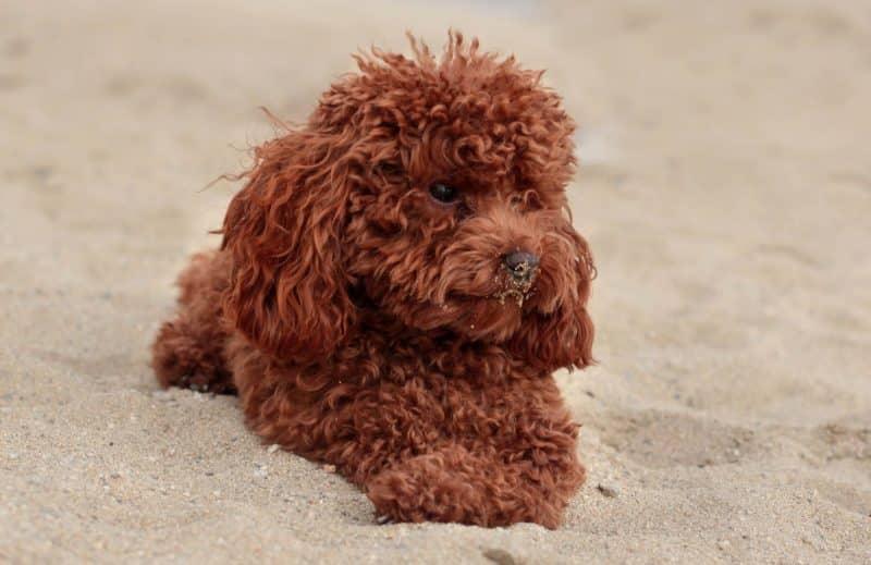esperanza de vida del Caniche Toy