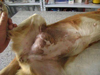 Cuanto cuesta una operacion de hernia umbilical en perros