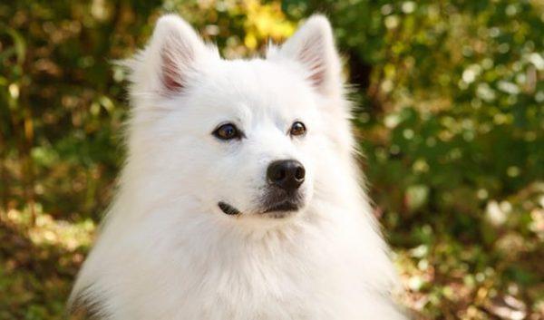 american eskimo razas de perros pequeños para tener en casa