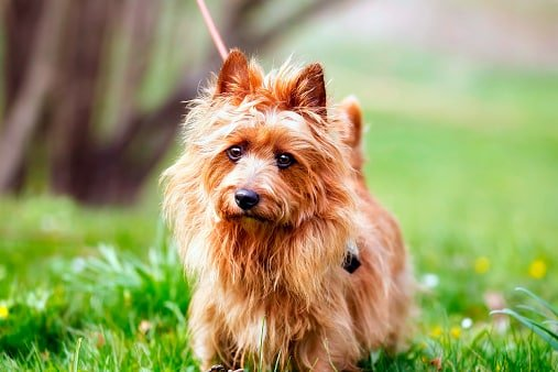 australian silky terrier razas de perros pequeños precios