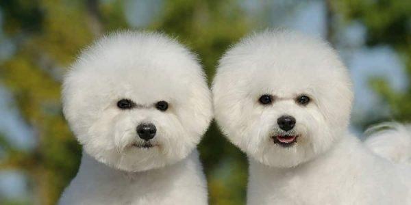 bichon frise razas de perros pequeños para tener en casa