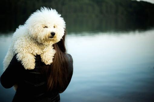 bichon frise razas de perros pequeños y cariñosos