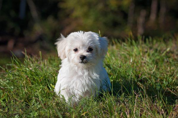 bichon maltes razas de perros pequeños con pelo largo