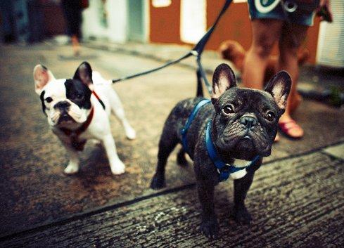 bulldog frances razas de perros pequenos precios
