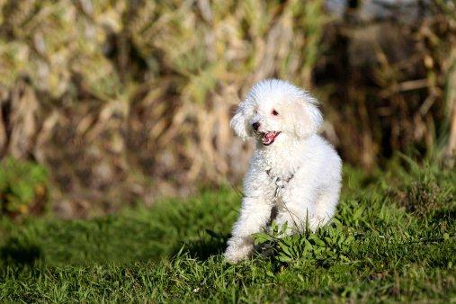 caniche razas de perros pequeños precios