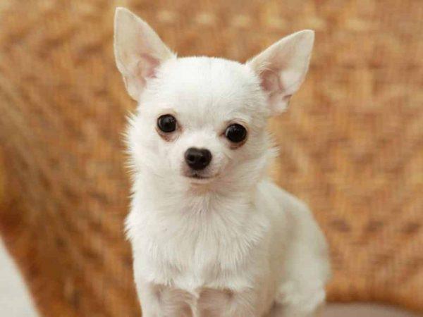 chihuahua razas de perros pequeños para tener en casa