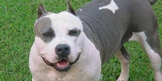 cobra razas de perros pitbull