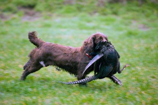 cocker spaniel razas de perros de caza