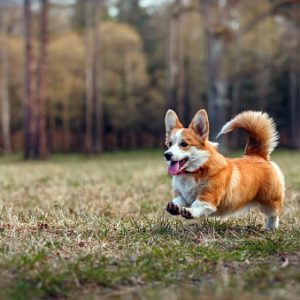 Razas de perros pequeños bonitos