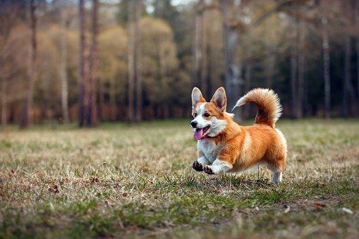 corgi gales razas de perros pequeños bonitos