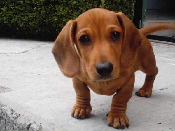 Razas De Perros Pequeños De Pelo Corto Aperradoscom