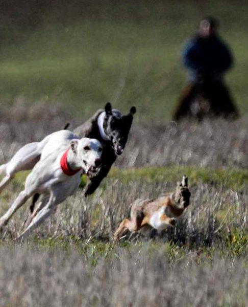 galgo espanol razas de perros de caza