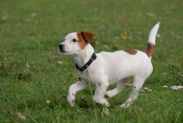jack russell terrier razas de perros pequeños de pelo corto