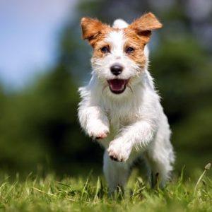 Precios de las razas de perros pequeños más comunes