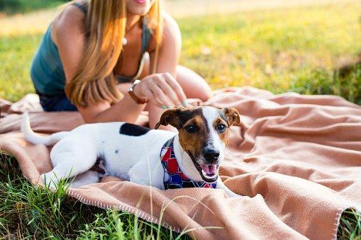 jack russell terrier razas de perros pequeños y cariñosos