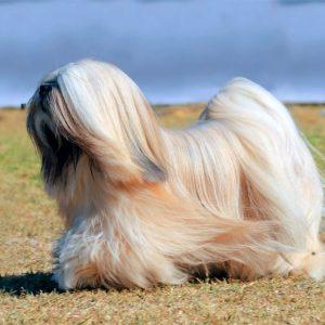 Razas de perros pequeños de pelo largo