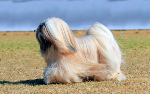 lhasa apso raza perro pequeño pelo largo