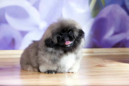 pekines razas de perros pequeños bonitos