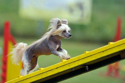 perro crestado chino razas de perros pequeños chinos