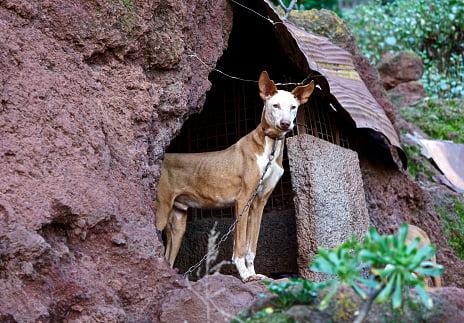 podenco canario razas de perros de caza