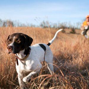 Razas de perros de caza