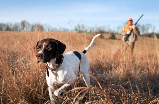 pointer ingles razas de perros de caza