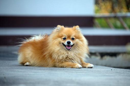 pomerania razas de perros pequeños bonitos