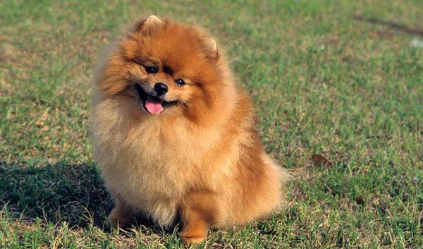 pomerania razas de perros pequeños para tener en casa