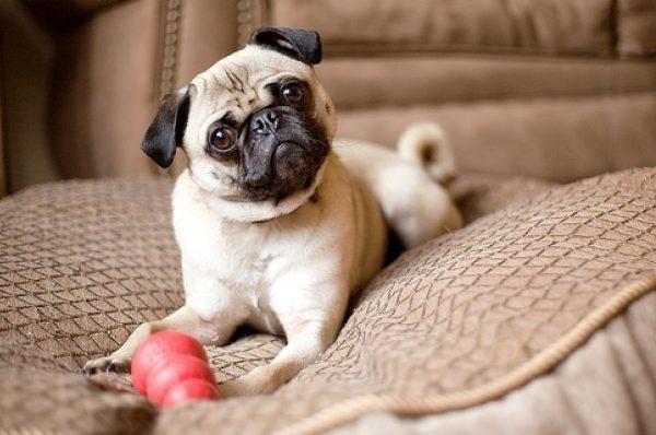 chihuahua razas de perros pequeños bonitos