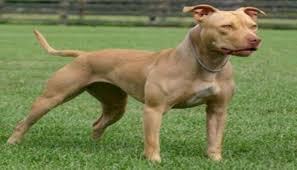 pynat razas de perros pitbull