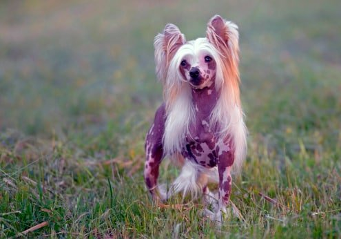 razas de perros pequeños sin pelo crestado chino