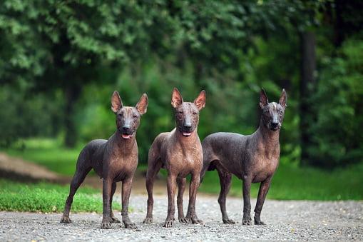 razas de perros pequeños sin pelo perro azteca mexicano