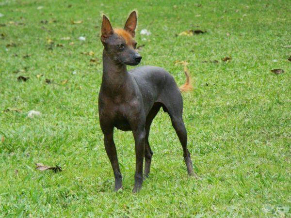 razas de perros pequenos sin pelo perro sin pelo del peru