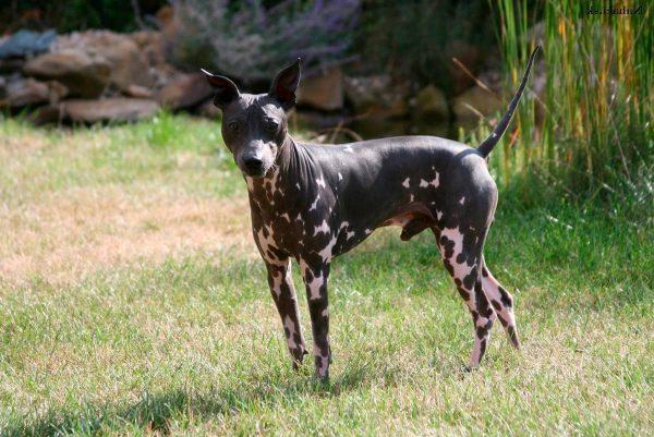 razas de perros pequeños sin pelo terrier americano
