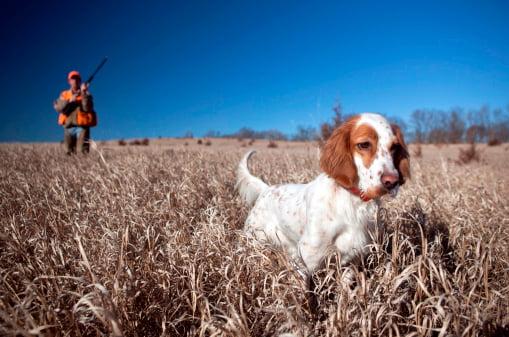 setter ingles razas de perros de caza