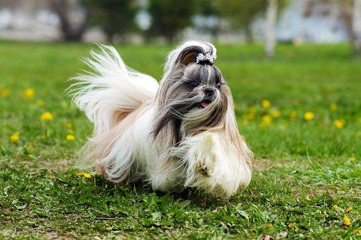 shih tzu razas de perros pequeños chinos