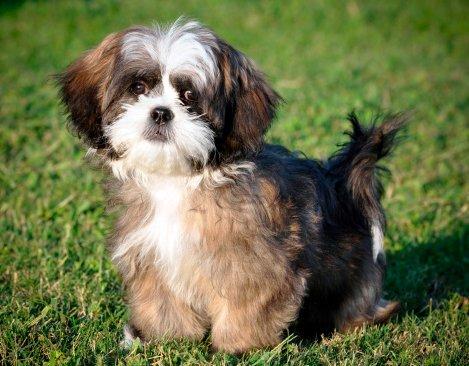 shih tzu razas de perros pequeños precio