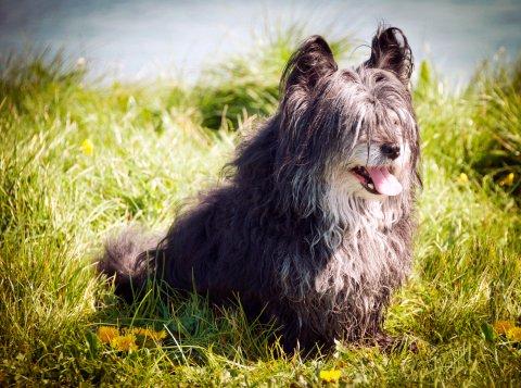 skye terrier perros razas pequeñas pelo largo