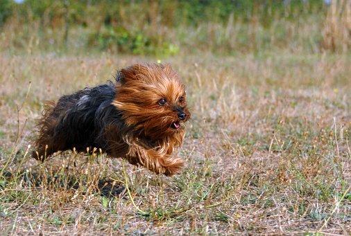 yorkshire terrier razas de perros de caza