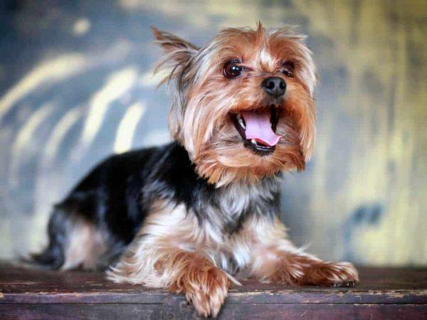 yorkshire terrier razas de perros pequeños de pelo largo