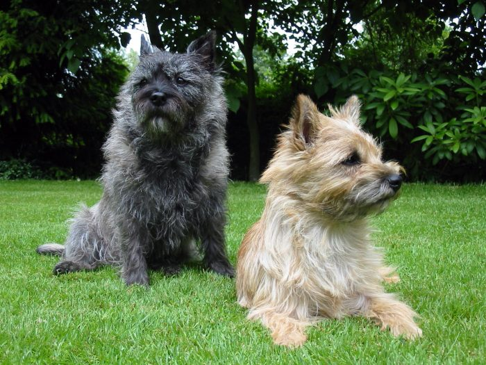 2 skye terrier en el jardín