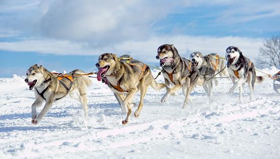6 husky siberiano tirando un trineo
