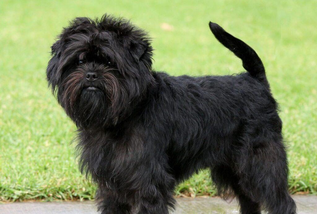 affenpinscher razas de perros pequeños negros