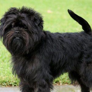 Razas de perros pequeños negros