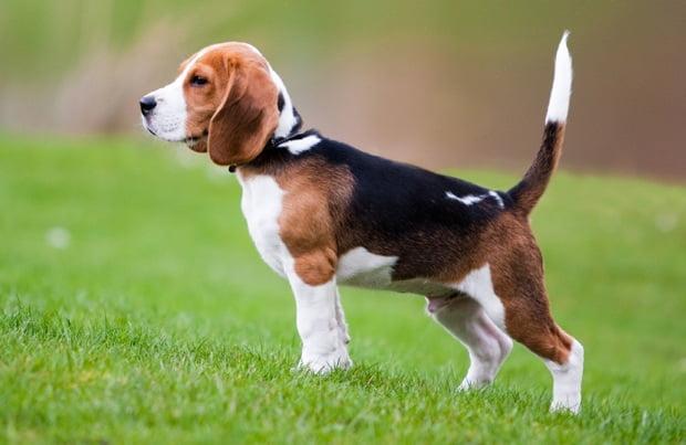 beagle cual perro inglés es mejor para una niña
