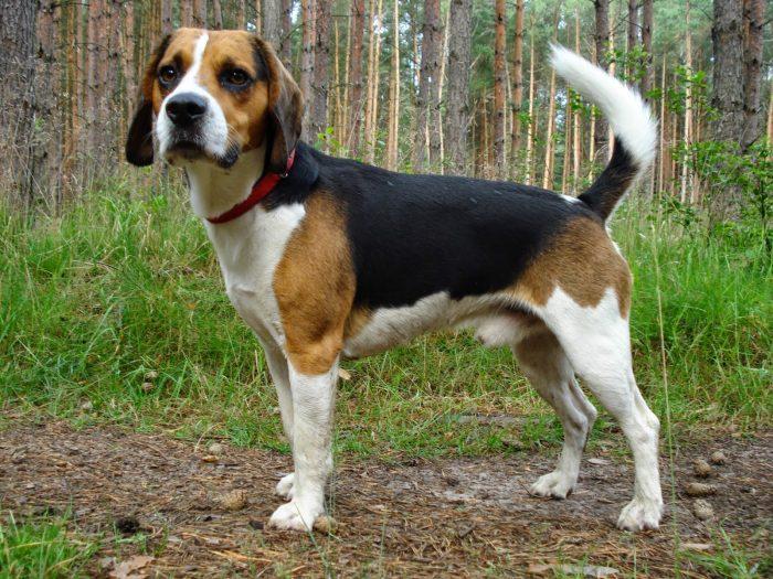 beagle en medio del bosque