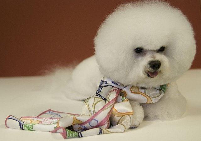bichon frise con el característico corte bola de algodon que le hacen a esta raza de perros peludos