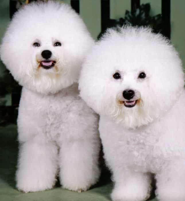 bichon frise razas de perros pequeños blancos