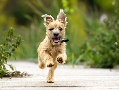 cachorro cairn terrier corriendo
